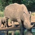 Rhino poached in Kruger National Park