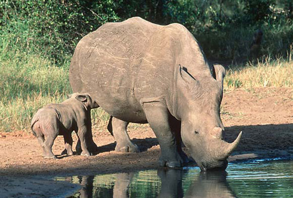 rhino poach